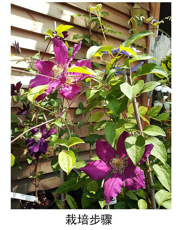 铁线莲苗 铁线莲根 阳台花卉绿植盆栽 爬藤植物 藤本花卉